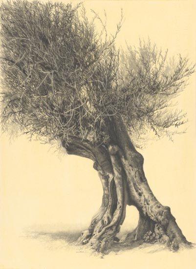 "Denise Antaya - Olive Tree Study 10.5"" x 14.5"" Graphite on toned paper"
