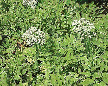 73 best bog garden images on pinterest bog garden for Best aquatic plants for small ponds