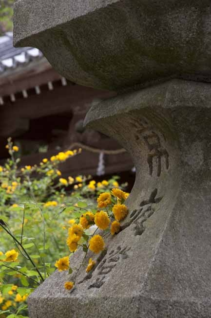 Matsunoo-taisha(Kerria)  #Kyoto#Japan  photography Kinichi Maeda