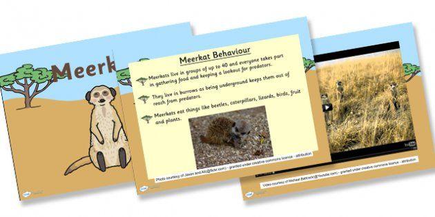 Safari Meerkat Information Powerpoint