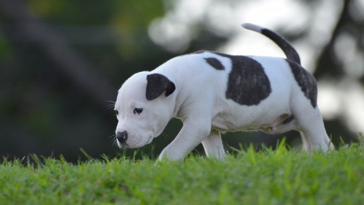 american stafford shire terrier puppy hd wallpaper download