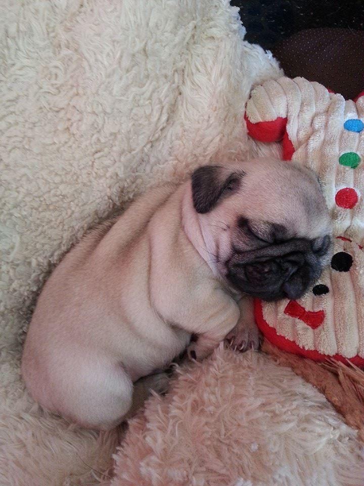 Sleeping Pug Beauty Ko A Sweet Little Pugster Napping On His