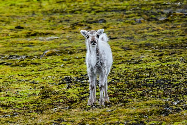PHOTO OF THE DAY This tiny Svalbard reindeer calf is all eyes, knees and fluff   Read more: http://www.mnn.com/earth-matters/animals/blogs/this-tiny-svalbard-reindeer-calf-is-all-eyes-knees-and-fluff