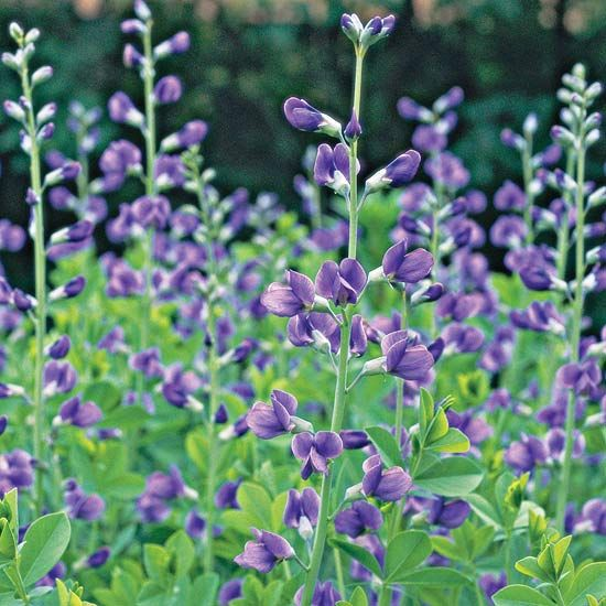Baptisia Australis - heat, drought,deer, and rabbit resistant.  It thrives in sun but tolerates part shade.