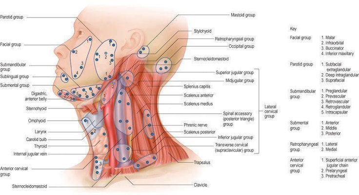 Lymph nodes of the head and neck Nursing medical