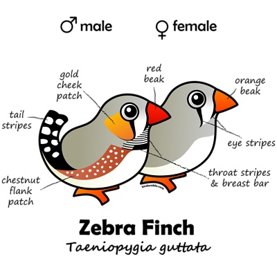 Zebra Finch- Male Female