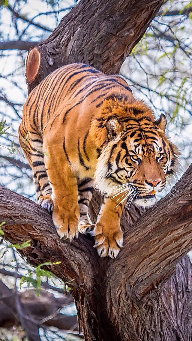 Tigre - Esse grandes felinos atingem cerca de 90 cm na altura dos ombros e têm…