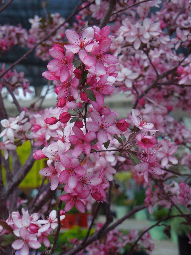 Best 25 flowering crabapple tree ideas on pinterest for Small perennial trees