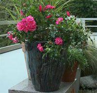 9 советов, как вырастить на балконе красивые розы