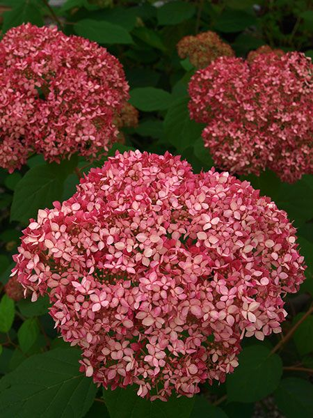 Invincibelle Spirit (Hydrangea arborescens 'NCHA1') has huge orbs like the cold-hardy Annabelle hydrangea, but in pink—and reblooms all summer. Flowerheads start out dark burgundy, fade to a soft pink, then finish green before the frost. Grows up to 4 feet high and wide. Zones 3-9; Proven Winners
