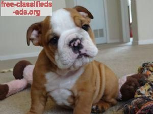 free-classifieds-ads.org - English bulldog puppies are here