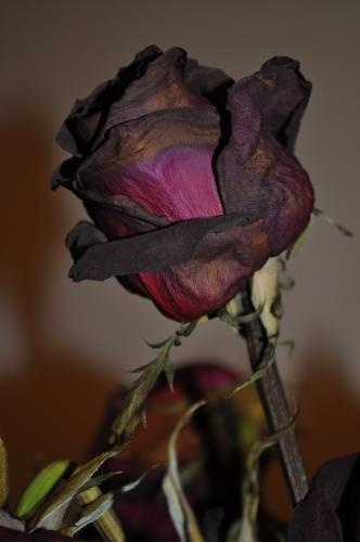 Beauty in death. Wilted Rose