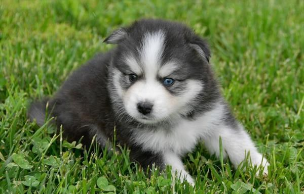 Petland Overland Park Has Huskimo Puppies For Sale Check Out All