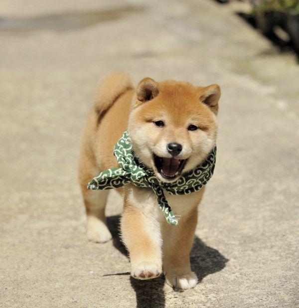 looks like a mini Koda..even tho he didnt look like that as a pup