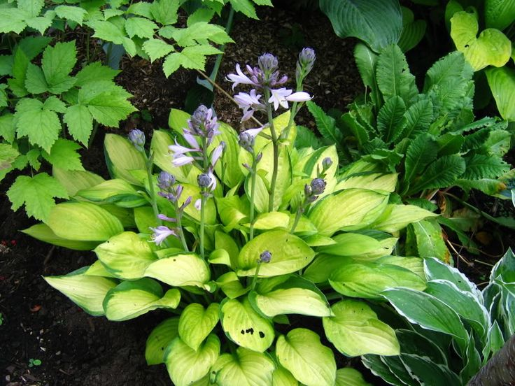 17 Best Images About Hosta Collection On Pinterest