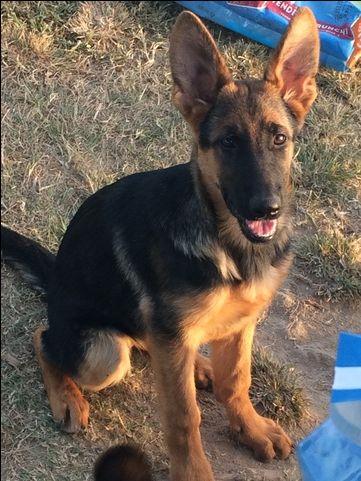 Litter of 4 German Shepherd Dog puppies for sale in LAURINBURG, NC. ADN-48485 on PuppyFinder.com Gender: Female. Age: 4 Months Old
