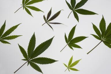 Can Medical Marijuana Help Relieve Your Back Pain?: Marijuana leaves