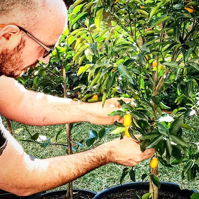 Iain is out harvesting our Nagami Kumquats on a sunny Saturday morning. 🍊☀️💚