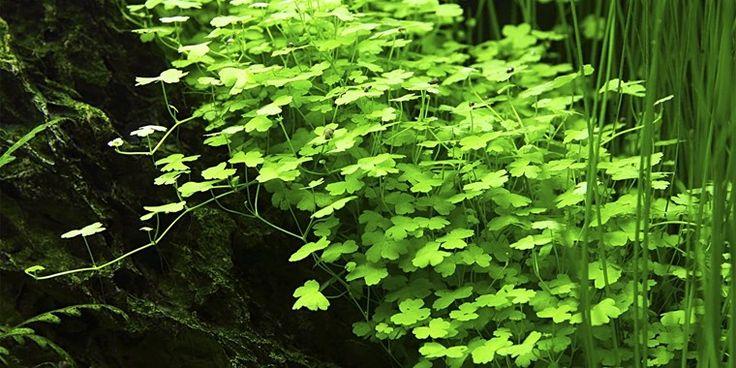 Hydrocotyle sp. Japan