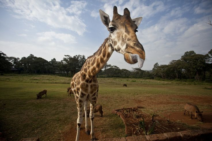 The friendly giants of Africa