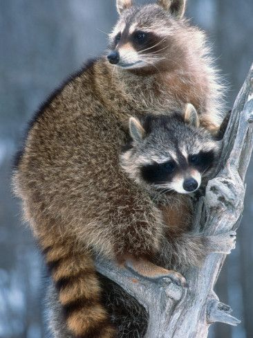 17 Best Images About Adorable Raccoons On Pinterest A