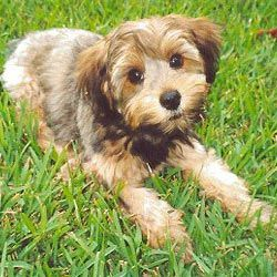 #yorkiepoo . This mixed dog does not shed, does not bark, and would be great for an apartment.  Requires little to no grooming. Too good to be true? we will see.