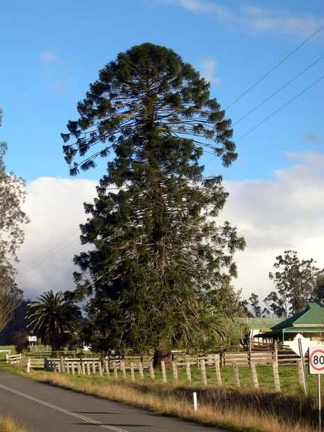 Bunya Pine Tree. Araucaria bidwillii. Showing their odd growth pattern.