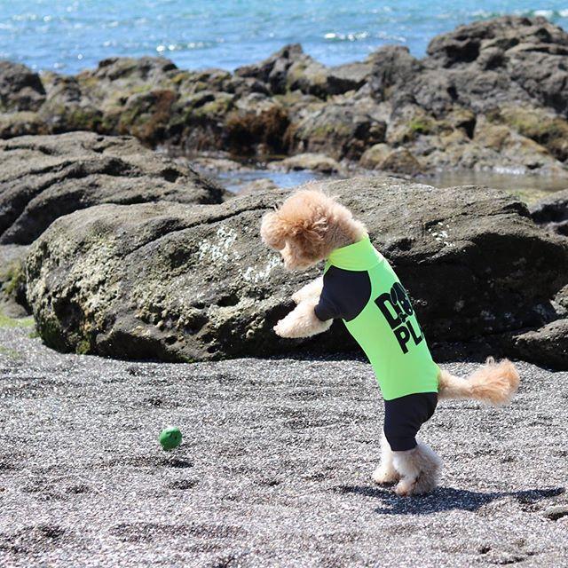歩いてる? ん?毛深い人か?(笑)  お店 @nikukyuno_kimochi うに @uni_1221  #神楽坂  #トイプードル #神楽坂ドッグカフェ  #犬カフェ #肉球 #肉球のきもち #犬のおやつ #ドッグカフェ #仔犬 #もずく #うに #トイプードルもずく #トイプードルうに #超音波温浴 #酵素風呂 #セルフシャンプー #神楽坂トリミング #神楽坂おすすめ #愛犬 #犬 #いぬ #イヌ #イヌスタグラム #toypoodle #dog #dogstagram #poodle #inumatome #doggies