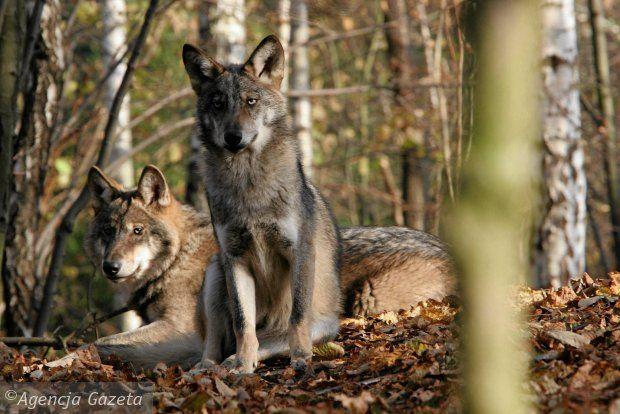 Po 50 latach wilki znowu zamieszkały w Puszczy Kampinoskiej. Wczoraj oficjalnie tę wiadomość potwierdziły władze parku