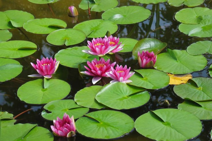 More Lily ponds