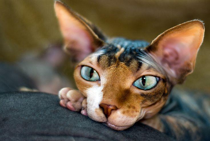 Голая кошка играет. Порода канадский сфинкс. Красивое фото