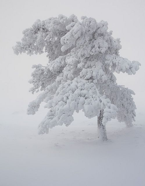 A tree covered in snow (by Vincent Favre on Flickr.)                                                                                                                                                      More