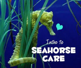 Intro to Seahorse Care by ashleyjlong