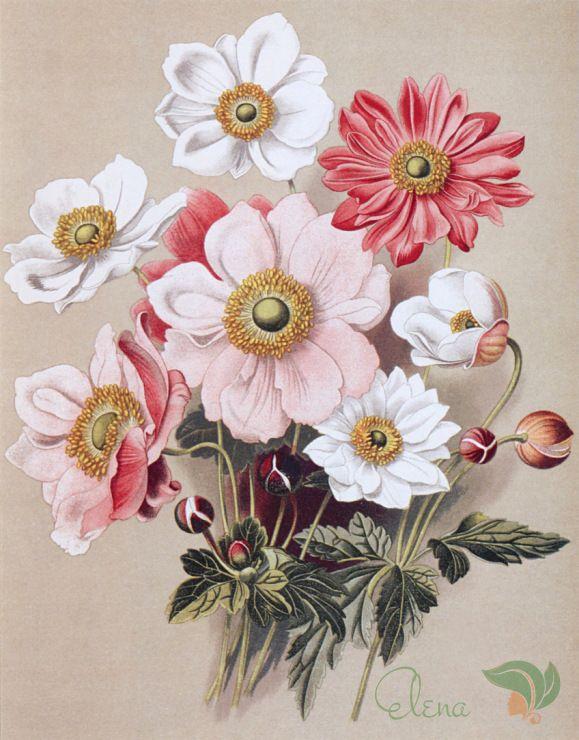 Gallery.ru / Ветреницы японские, разные сорта (анемоны) - Садовые многолетники (Акварели В.Мюллера) - egord