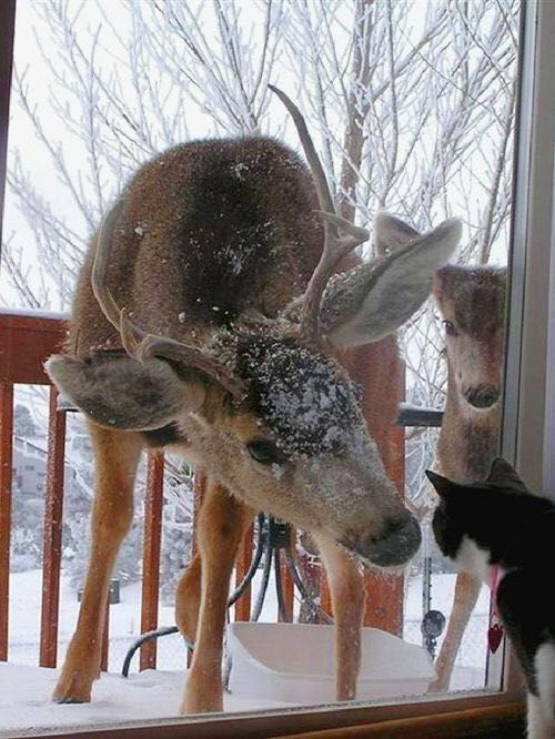 ~ This could easily be one of our kitties.  My husband and I live in the mountains so deer are always in our front yard foraging for food.  But staring at one of our cats would be a first b/c deer are always so fearful. ~