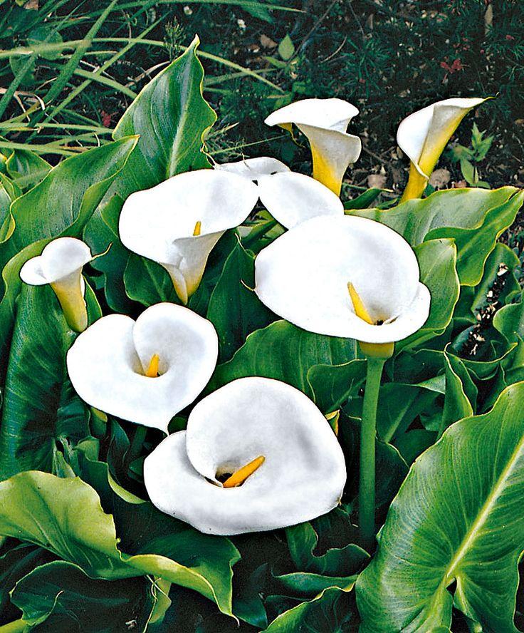 Lily Type Plants: 24 Best Indoor Garden Images On Pinterest