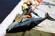 Large bluefin tuna on deck - Atlantic bluefin tuna - Wikipedia, the free encyclopedia