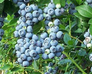 Огород, Дача, вырасти все без химии.: Синий виноград
