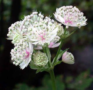 Astrancia Flores hermosas del mundo