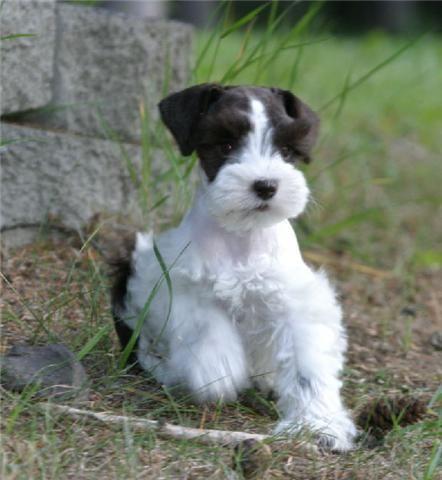 Black and white miniature schnauzer puppies for sale