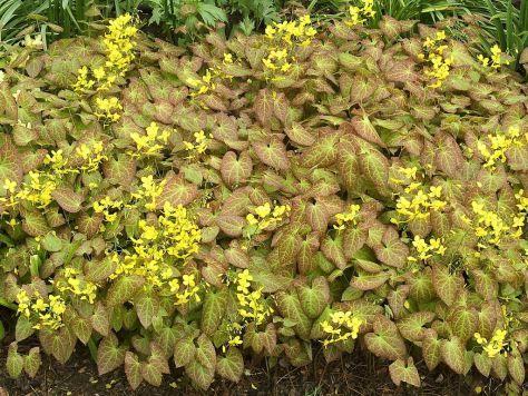 Schoonheid in de schaduw : Epimedium x perralchicum 'Frohnleiten' (Elfenbloem)