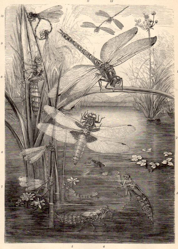 1898 Dragonfly Antique Print Vintage Lithograph by ...