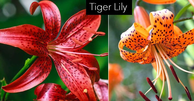 It's fun to grow lilies from bulbs, and the Tiger Lily (Lilium lancifolium syn. Lilium tigrinum)is a particularly striking and dramatic specimen. Lilies are very rewarding to grow because with very little preparation and care they yield vibrant and abundant results. In this article, we will discuss the skills and steps necessary to grow and …