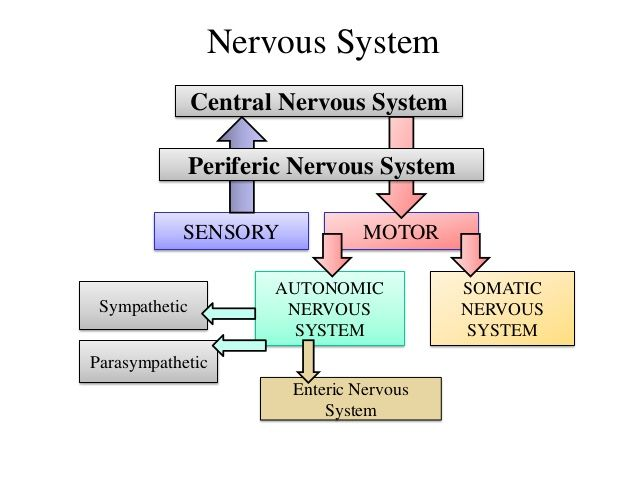 The Beautiful & Miraculous Design of the Body: The Central Nervous System & The Autonomic Nervous System