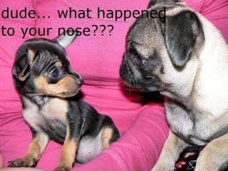 http://a5.sphotos.ak.fbcdn.net/hphotos-ak-snc6/181816_394091340636049_263751677003350_1138320_466108699_n.jpg: Giggles, Puppys, Funny Stuff, Pugs, Humor, Smile, Chihuahua, So Funny, Dudes