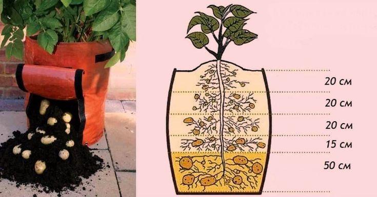 Způsob svislévýsadby brambor je velmi oblíbený u mnoha majitelů malých zahrádek. ');}); // ]]> Tato metoda má velký úspěch, protožes každým vysázením hlízy můžeme vyzvednout celý kbelík brambor! Je potřeba sehnat odrůdu brambor, která je vhodná pro svislé pěstování. Jak pěstovat bram
