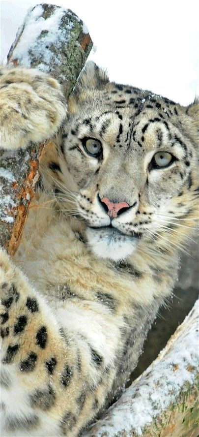 "Snow Leopard ~ Central and South Asia ~ Miks' Pics ""Animals lV"" board @ http://www.pinterest.com/msmgish/animals-lv/"