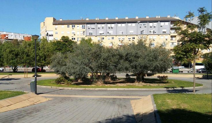 Circulo de olivos en una rotonda que sale de mi barrio