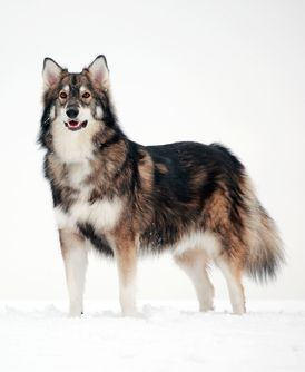 Utonagan Dog (specially bred from Alaskan Malamute, Siberian Huskey, and German Shepard; became a breed of its own just for its look. Love it