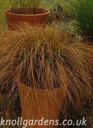 Existing: We will move these to the planting by the annex.   Carex testacea | Knoll Gardens | Ornamental Grasses and Flowering Perennials